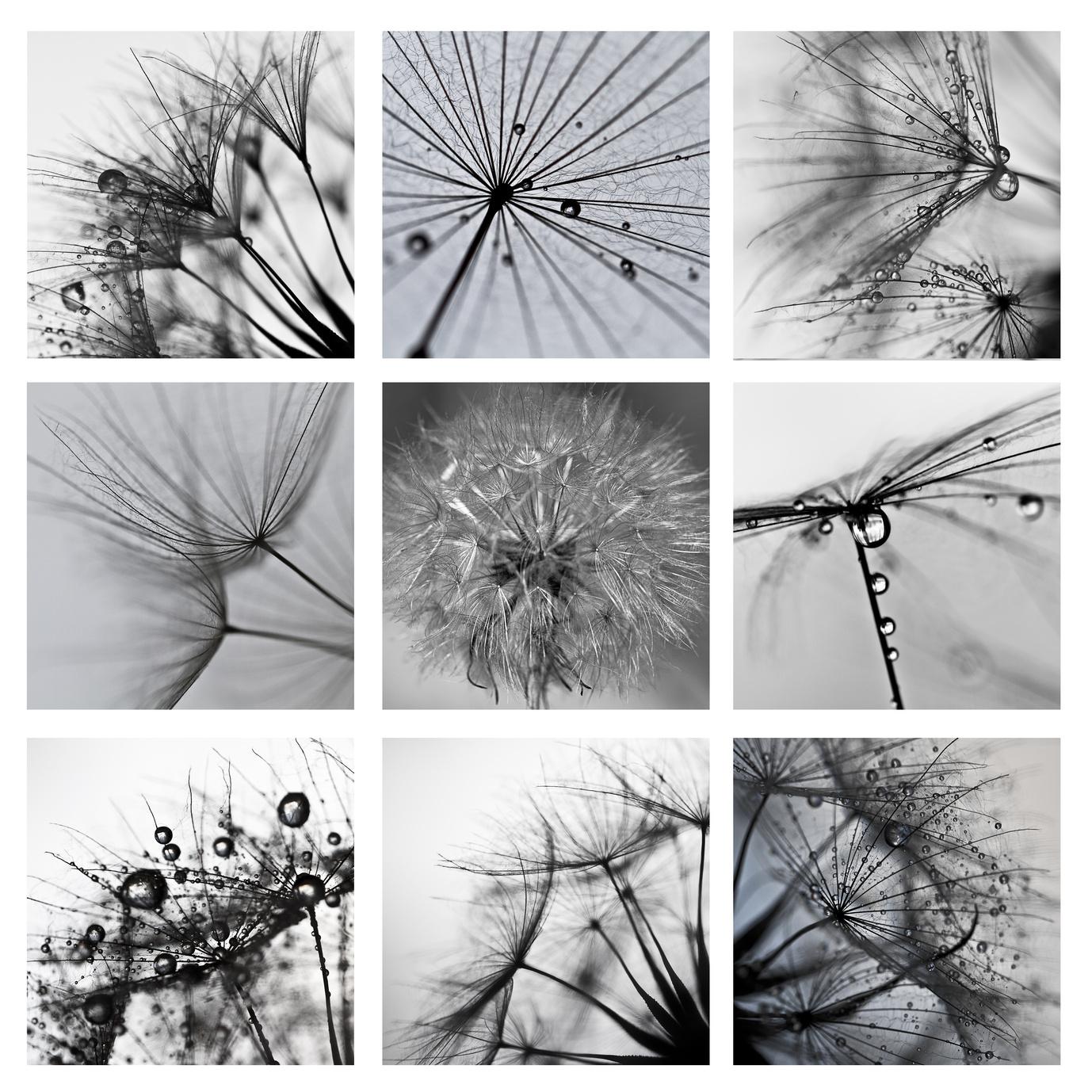 Collage ze zdjęć makro wielkiego dmuchawca